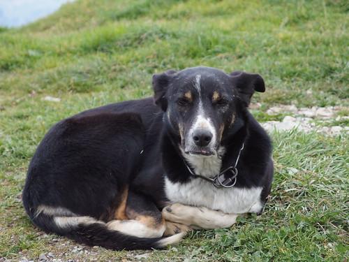 Dog @ Chalet de l'Aulp de Marlens @ Hike to Mont Charvin