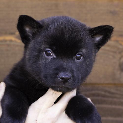 Nori-Litter2-47Days-Puppy6(female)a