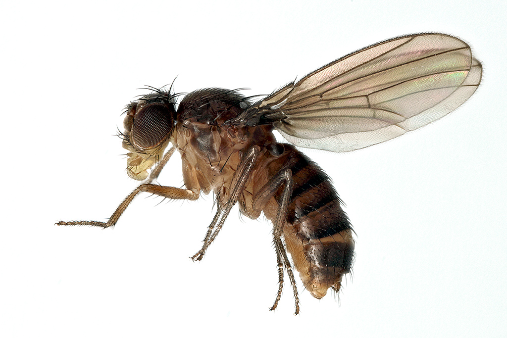 fruit fly introduction Introduction 1-1 biology of the mediterranean fruit fly 2-1 program organization, staffing, and responsibilities 3-1 identification procedures 4-1 the mediterranean fruit fly has been recorded infesting over 200 different types of fruits and vegetables.