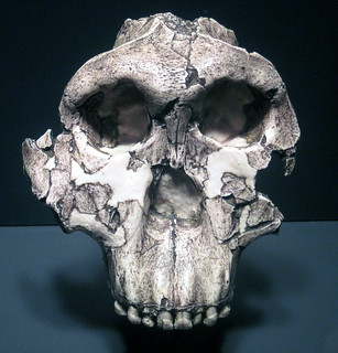 Paranthropus boisei fossil hominid (Koobi Fora Formation, Lower Pleistocene, 1.75 Ma; Olduvai Gorge, western Arusha Region, northern Tanzania, eastern Africa) 1