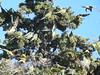 Burrowing Parakeet (Cyanoliseus patagonus patagonus)