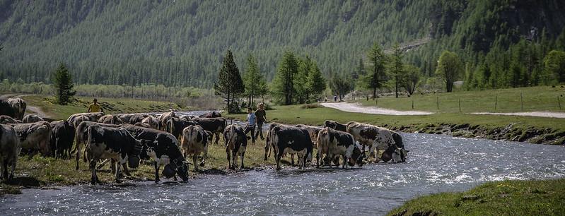 mucche al pascolo in valle argentera