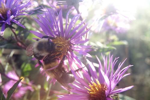 Bumblebees & Aster 2