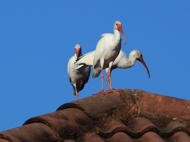 White Ibises on roof 20141028