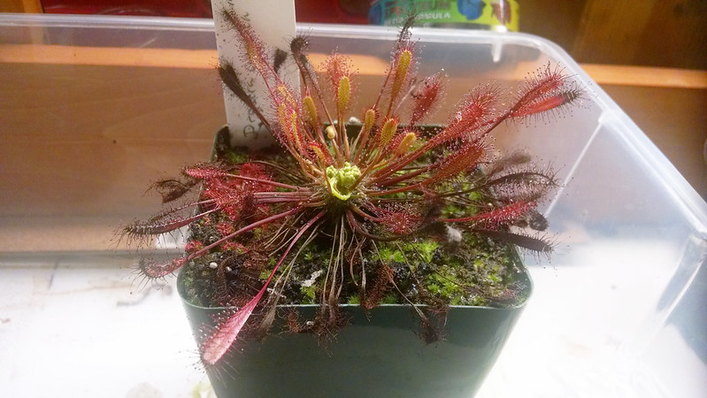 Drosera anglica CA x HI with aphid infestation.