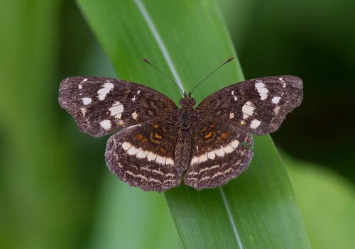 birds butterfly panama canopytower achioteroad