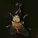 Small photo of Horse Fly (Tabanidae)
