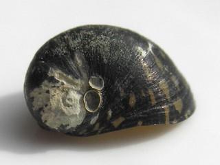 Theodoxus fluviatilis 11