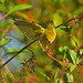 Yellow Warbler The Art of Birds ! by dnoseworth