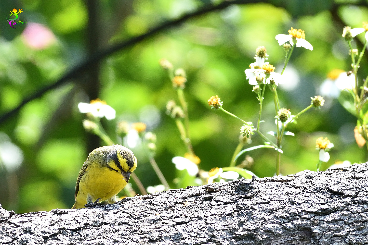 Yellow-fronted_Canary_8320