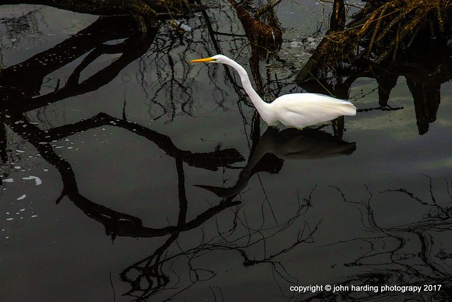 Egret In The Shadows