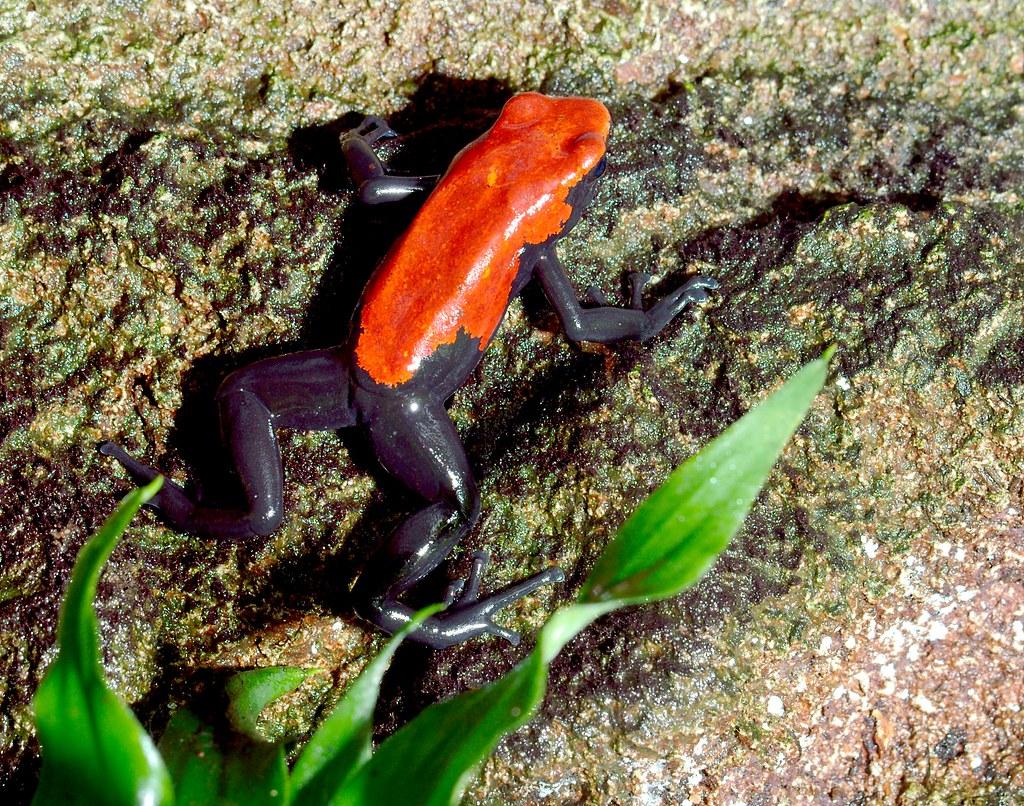 Splash-Backed Poison Dart Frog_5