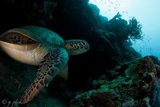 green turtle 1 lekuan 3, siladen, indonesia