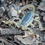 California Common Scorpion