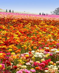 The Flower Fields, Carlbad, CA 4.4.17 3