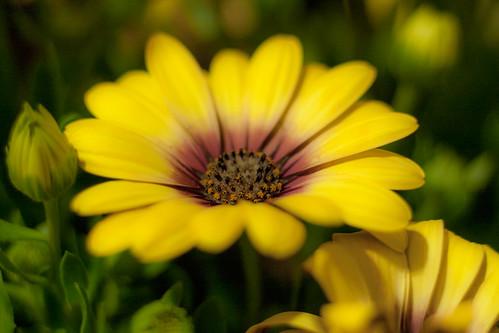 margarita daisy macro macrofotografía macrophotography flor flores flower flowers osteospermum 50mm extensiontubes tubosdeextension eos50d garden