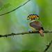 Royal Flycatcher, Costa Rica by www.juancarlosvindasphoto.com