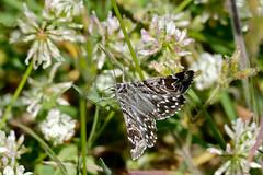 Mother Shipton Moth (Euclidia mi)