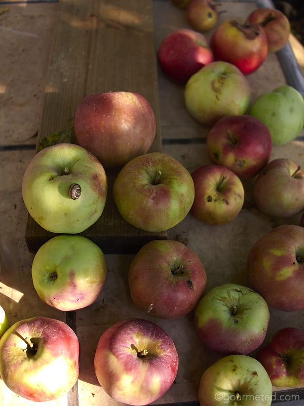 Our backyard Spencer apples, a variety which is a cross between a McIntosh and Golden Delicious