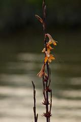 River-bank flower