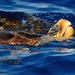 Loggerhead turtle (Caretta caretta) - Photo by Justin Hart