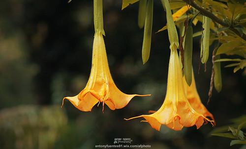 Brugmansia Cándida mejor conocida como Florifundia o Floripundia es una flor muy bella que tiene la particularidad de contener alcaloides con propiedades embriagantes además de poseer efectos alucinógenos y narcóticos.