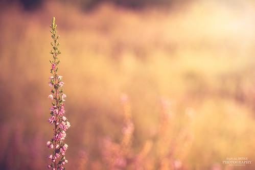 sunset sun color colour yellow sunrise canon germany deutschland eos purple heather hamburg lila gelb heath sonne farbe strauch heide farben sonnenschein boberg 70d canoneos70d