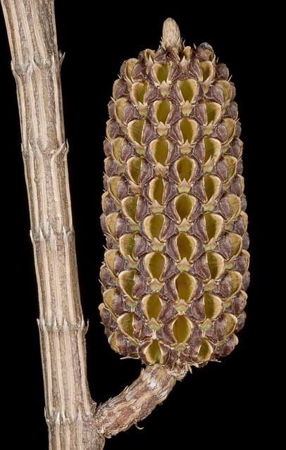 Header of Allocasuarina lehmanniana