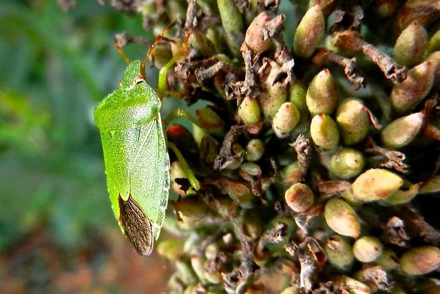 Green Shield Bug DSCN3541