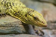 A reptile...