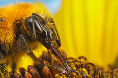 Feeding Bumblebee on a Sunflower III
