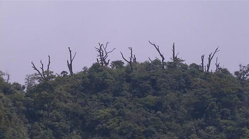 極端氣候使部份台灣水青岡死亡
