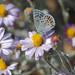 Small photo of Acmon Blue