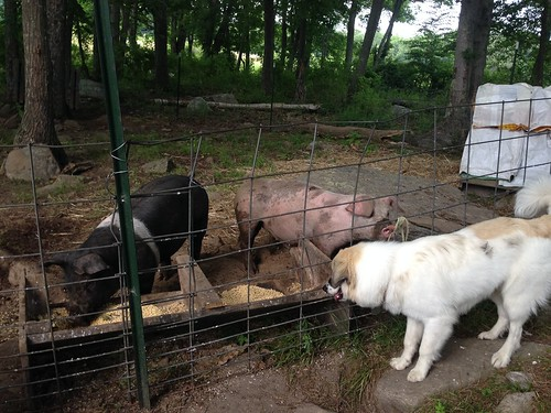 Pigs and Elsa