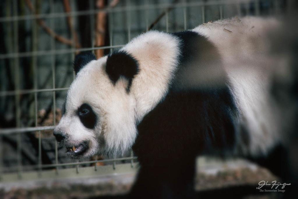 Panda Walk