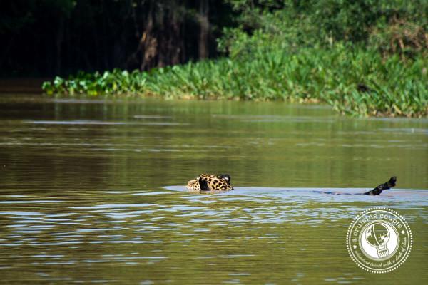 Pantanal Jaguar Swimming in the river