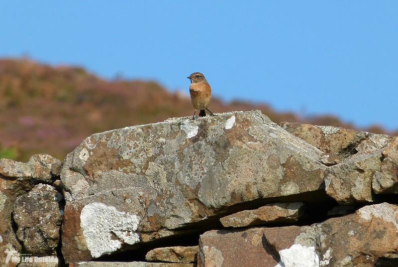 P1090061 - Stonechat, Isle of Mull