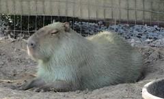 animal, rodent, pet, capybara,