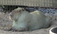 prairie dog(0.0), animal(1.0), rodent(1.0), pet(1.0), capybara(1.0),