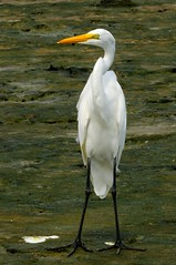 animal, wing, fauna, little blue heron, great egret, heron, pelecaniformes, beak, bird, wildlife,
