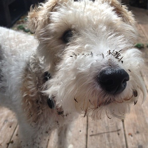 It's not a good morning if you spend some of it with burrs in your furs. #dogsofinstagram #wirefoxterrier