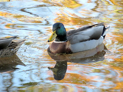 mallard in autumny waters