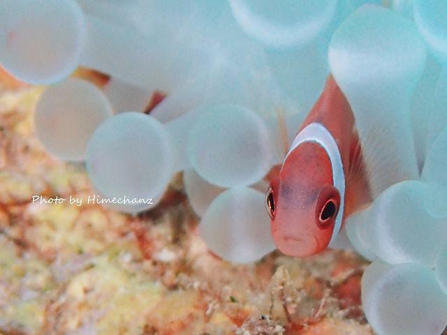 白化イソギンチャクに住むハマクマノミ幼魚