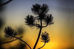 Bobtail Branch Sunseting