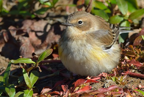 warbler yellowrumped dendroicacoronata