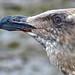 Craggy Gull 1
