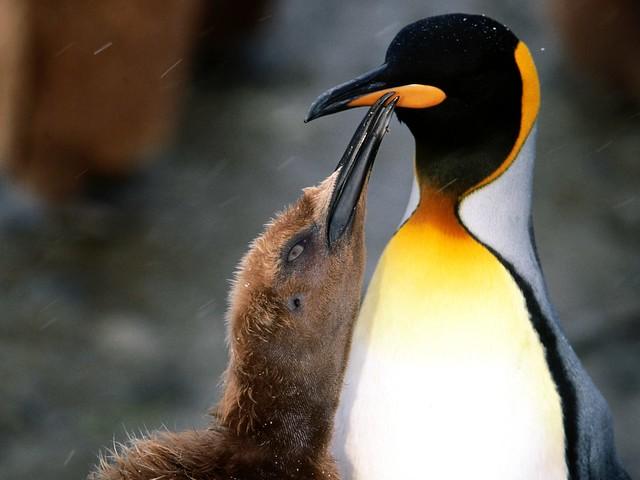Peck on the Cheek, King Penguin www.affiliatemarketers.ga