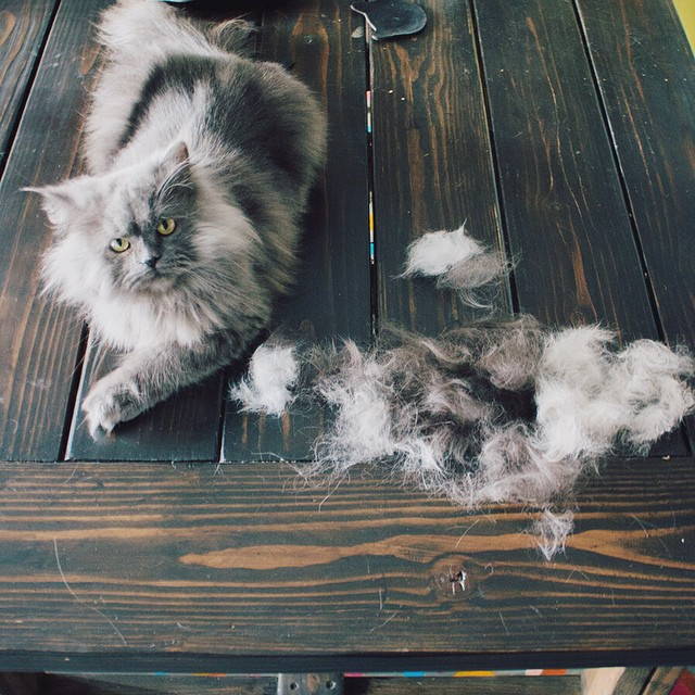 Furminated all the kitties today.  Surprisingly Xanadu always has the most fur that comes off.  Goblin just lies on the floor upside down because he enjoys it so much.  Then he rolls around in everyone's fur.  #goblin #cats #cat #persiancat #Persian #fluf