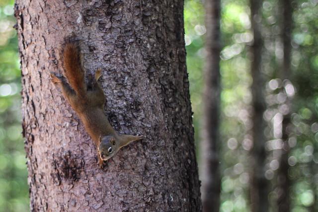 Frisson l'écureuil prépare son plan