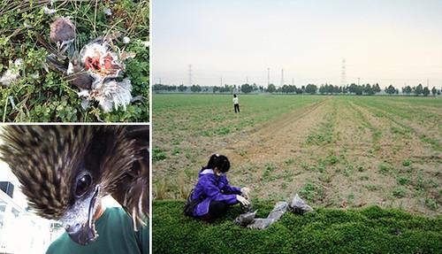 農田裡有數不盡的鳥類屍體,農夫用藥防止鳥類吃作物,黑鳶再吃了暴斃的麻雀、紅鳩等,也受到毒害。圖片來源:林惠珊、屏科大鳥類生態研究室